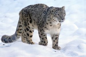 Lolkema Adventures Snow Leopard