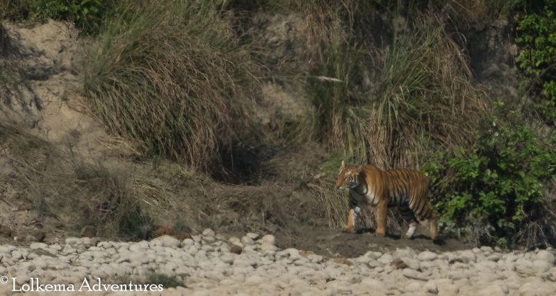 Lolkema Adventures Tiger Bardia National Park Nepal