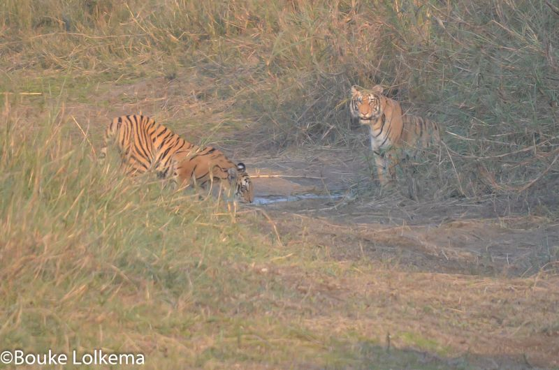 Lolkema Adventures Two Tigers Bardia National Park Nepal