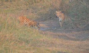 Over tijgers en zo……