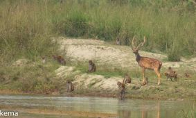 Spotted Deer and Rhesus Macaques